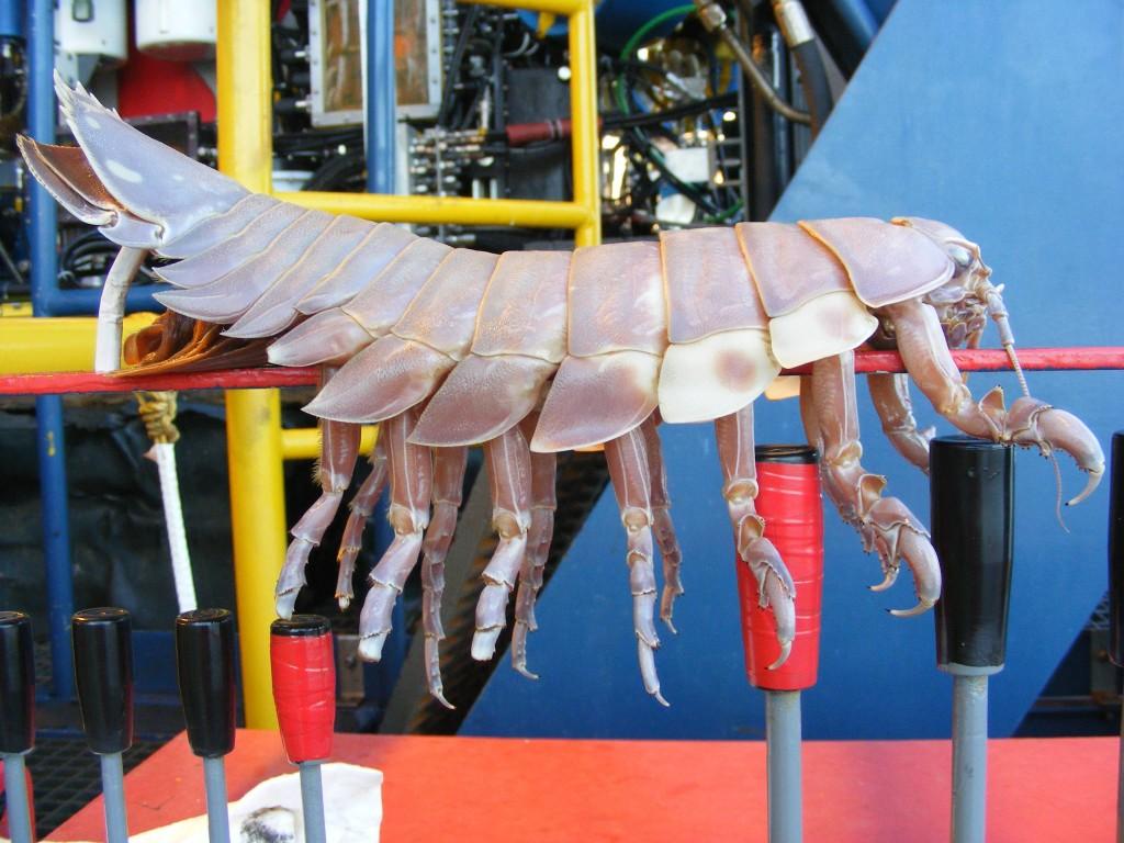 Isopods 004